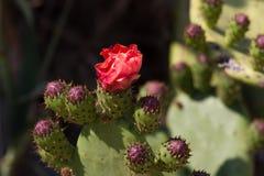 Sabra ficus-indica de buissons d'opuntia sauvage de cactus Photos libres de droits