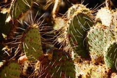 Sabra kłującej bonkrety kaktus Obrazy Stock