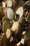 Sabra kłującej bonkrety kaktus Fotografia Stock