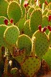 Sabra kłującej bonkrety kaktus z owoc Obrazy Stock