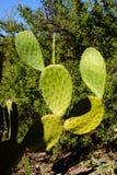 Sabra kłującej bonkrety kaktus z owoc Zdjęcie Royalty Free