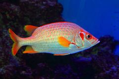 Sabre squirrelfish Stock Photo