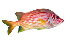 Sabre squirrelfish Royalty Free Stock Photography