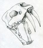Sabre tooth tiger scull drawing Stock Photography