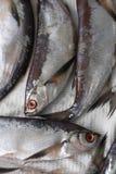 Sabrefish (cultratus Pelecus) Royalty-vrije Stock Afbeeldingen