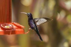 sabrewing hummingbird fiołek obrazy stock