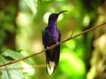 sabrewing violet för hummingbird arkivbild