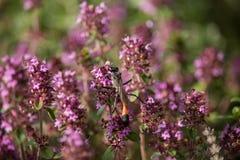 Sabulosa d'Ammophila sur la fleur de thymus Photo libre de droits