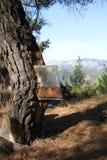 Sac de résiné sur un pin dans Evia du nord, Grèce Photographie stock libre de droits