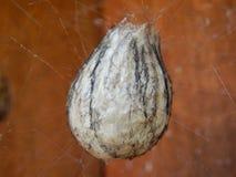 Sac dell'uovo del ragno della vespa Fotografie Stock Libere da Diritti
