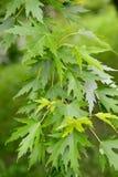 Saccharinum l acer клена серебристое , ветвь с листьями Стоковое Изображение RF