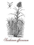 Saccharum officinarum or sugar cane, botanical vintage engraving. Saccharum officinarum or sugar cane is a strong-growing grass originated from Asia, the stems Royalty Free Stock Images
