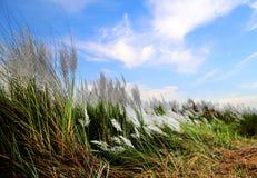Saccharumspontaneum eller Kans gräs royaltyfria bilder