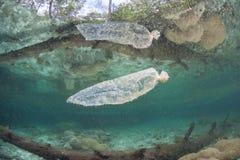 Sacchetto di plastica scartato che va alla deriva nella mangrovia fotografia stock