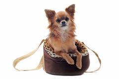 Sacchetto e chihuahua di corsa Fotografie Stock Libere da Diritti