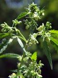 Sacchi del polline della pianta della cannabis fotografia stock libera da diritti