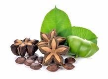 Sacha Inchi, cápsula fresca semeia o fruto do sa fotografia de stock