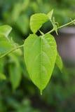 Sacha-Inchi peanut Royalty Free Stock Images