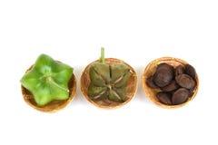 Sacha inchi, Sacha peanut, Inca peanut, Supra or Mountain peanut Plukenetia volubilis L.. Royalty Free Stock Photo