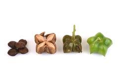 Sacha inchi, Sacha peanut, Inca peanut, Supra or Mountain peanut Plukenetia volubilis L.. Royalty Free Stock Photos