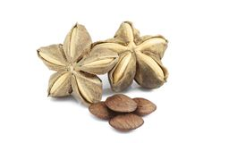 Sacha inchi, Sacha peanut or Mountain peanut. royalty free stock photo