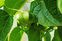 Sacha Inchi. Tropical mountain peanut on creeper plant Stock Images