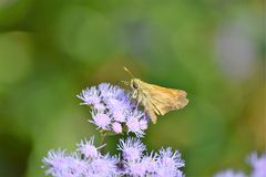 Sachem Butterfly. A sachem butterfly this skipper is landed on some wildflowers in a meadow Stock Photo