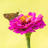 Sachem Skipper in Illinois Royalty Free Stock Image
