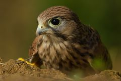 A Hawk portrait Stock Photo
