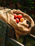 Sack of apples in wheelbarrow royalty free stock photos