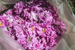 Sack of color of oilseed rose. Sack of dialed color of oilseed rose stock photography