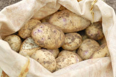 Sack of freshly harvested organic potatoes. Royalty Free Stock Images
