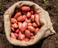A sack of freshly picked potatoes Royalty Free Stock Photos