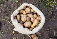 A sack of freshly picked potatoes Royalty Free Stock Photography