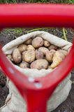 A sack of freshly picked potatoes Stock Photo