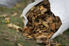 Sack full of Autumn leaves Royalty Free Stock Photography