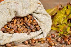 Sack of oak acorns autumn still life Stock Images
