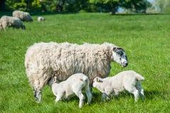 sackling他们的母亲的新出生的羊羔站立在新绿色spr 库存照片