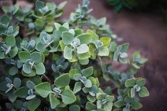 sackling завод кустарника зеленый кустовидный с листьями стоковая фотография rf