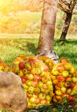 Sacks with apples Royalty Free Stock Photos