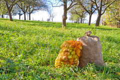Sacks with apples. Under a apple tree Royalty Free Stock Photography