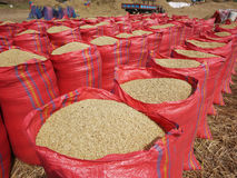Sacks Of Rice During Harvest Stock Photography