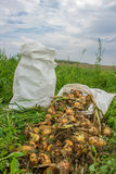 Sacks of onions Royalty Free Stock Images