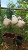 Sacos de juta com suspensão interna fresca dos feijões de cacau em uma vara Imagens de Stock Royalty Free
