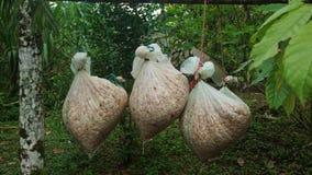 Sacos de yute con los granos de cacao frescos dentro de la ejecución en un palillo Imágenes de archivo libres de regalías