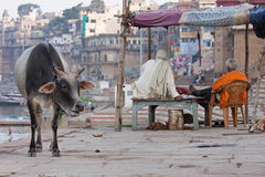 Sacred animal on the banks of the river Ganges Stock Photo