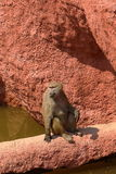 Sacred Baboon enjoying sun Stock Image