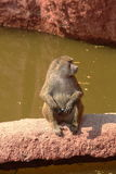 Sacred Baboon posing Royalty Free Stock Photos