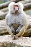 Sacred baboon Royalty Free Stock Photography
