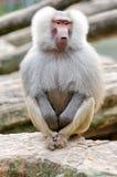 Sacred baboon Royalty Free Stock Photography